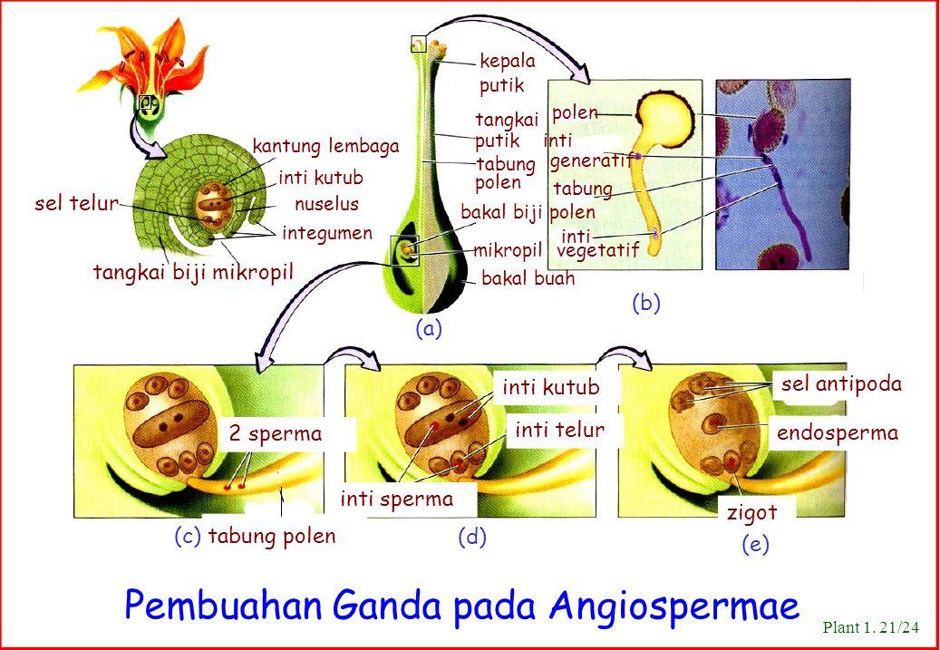 Pembuahan Ganda pada Angiospermae
