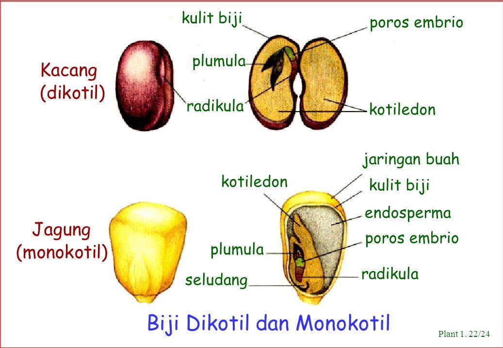 Biji Dikotil dan Monokotil
