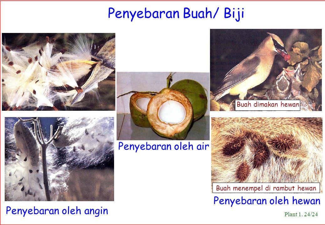 Penyebaran Buah/ Biji Buah dimakan hewan Buah menempel di rambut hewan