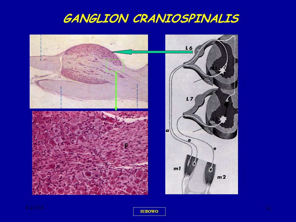 GANGLION CRANIOSPINALIS