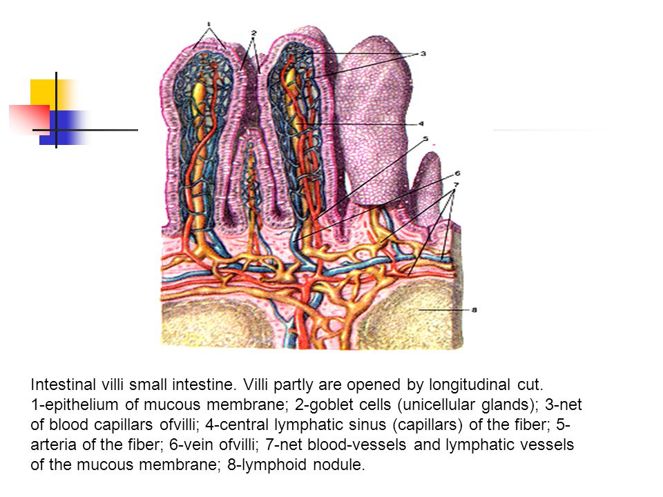Intestinal villi small intestine