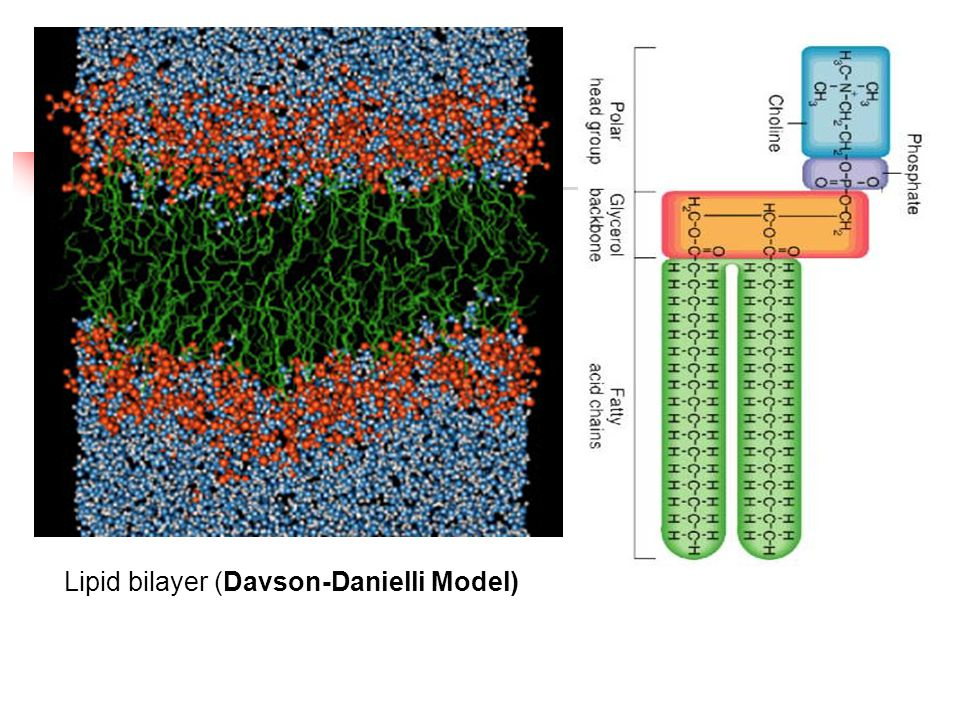 Lipid bilayer (Davson-Danielli Model)