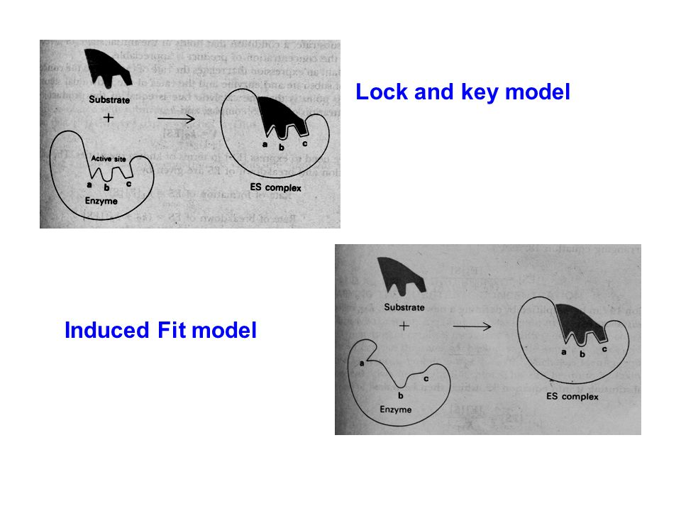 Lock and key model Induced Fit model
