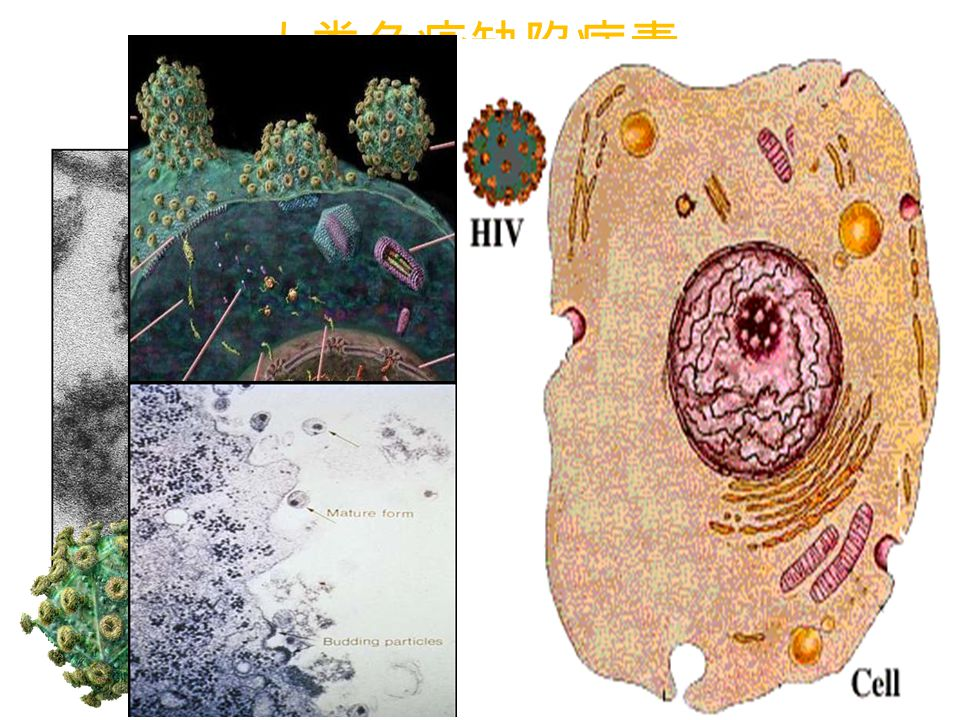 人类免疫缺陷病毒 ( Human Immunodeficiency Virus, HIV )