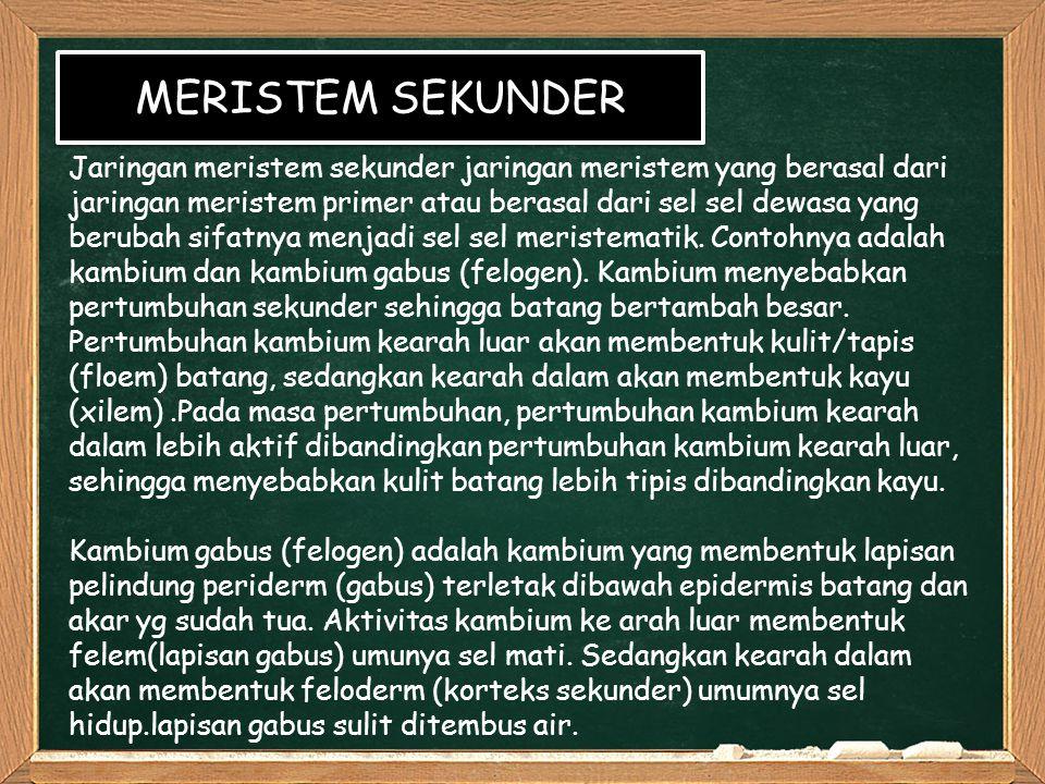 MERISTEM SEKUNDER