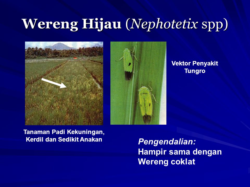 Wereng Hijau (Nephotetix spp)