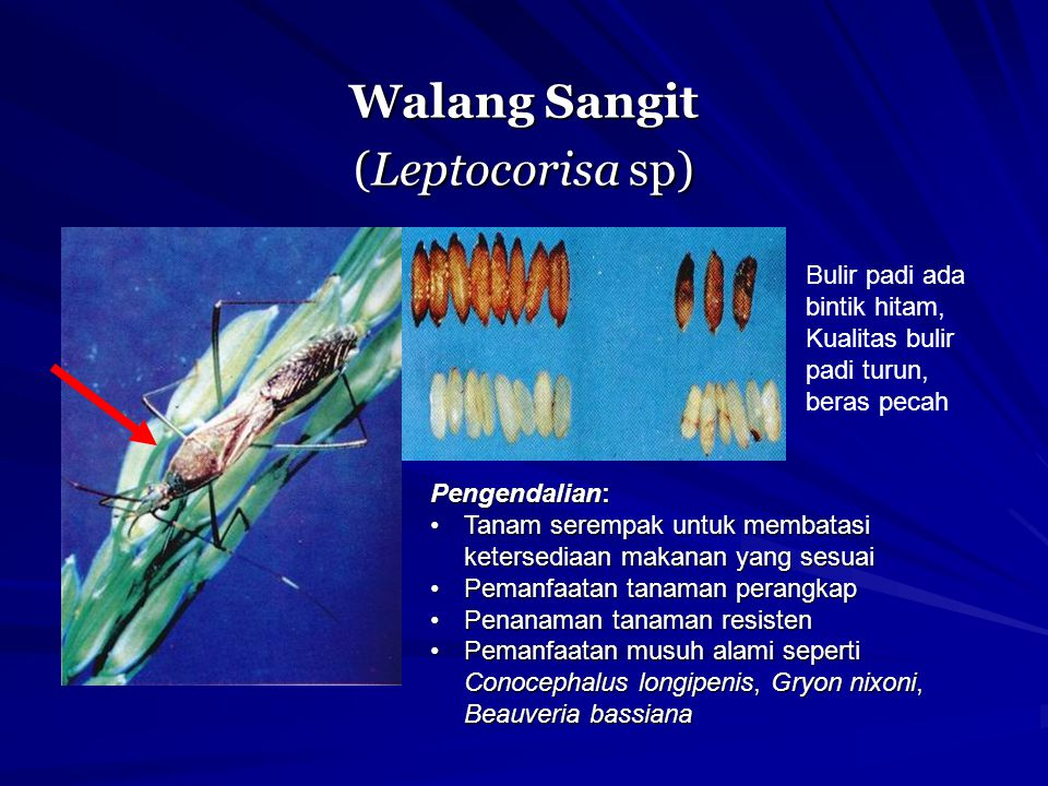 Walang Sangit (Leptocorisa sp)
