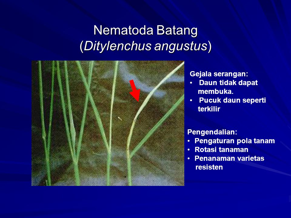 Nematoda Batang (Ditylenchus angustus)