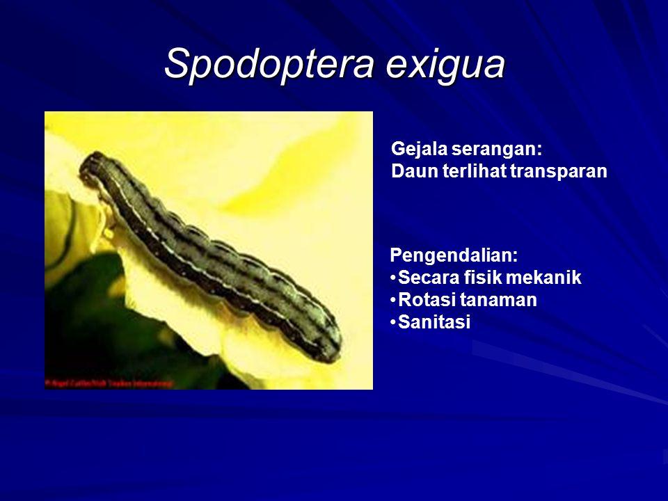 Spodoptera exigua Gejala serangan: Daun terlihat transparan