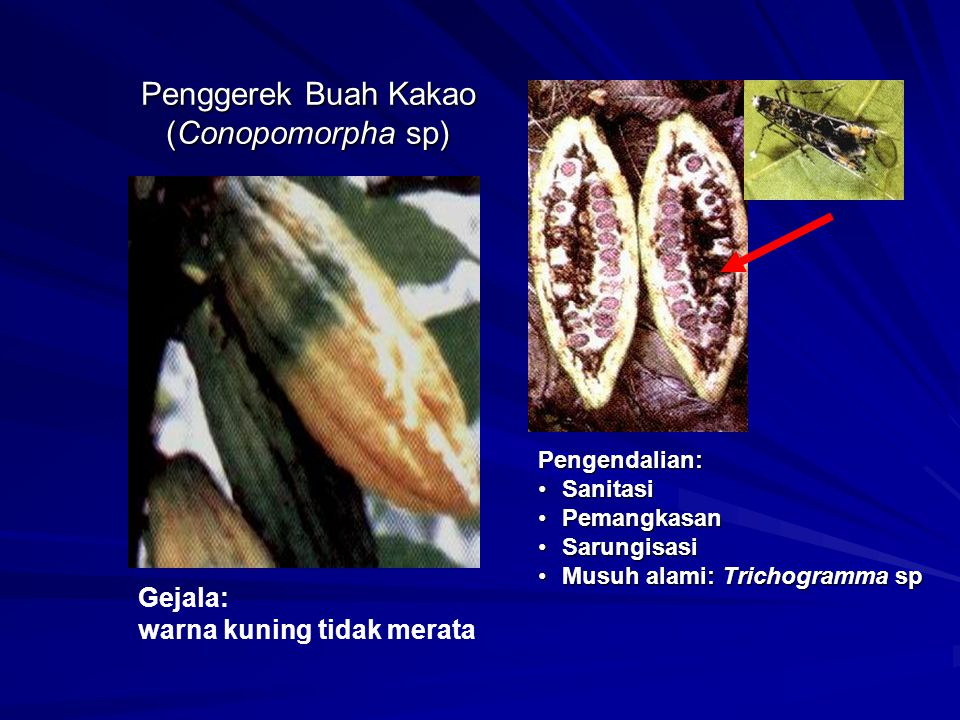 Penggerek Buah Kakao (Conopomorpha sp)