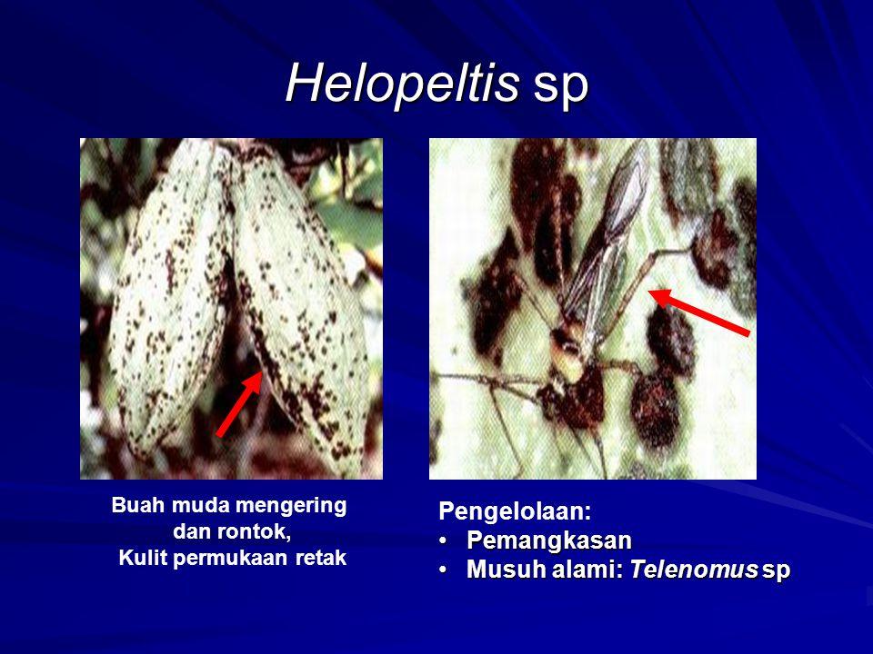 Helopeltis sp Pengelolaan: Pemangkasan Musuh alami: Telenomus sp