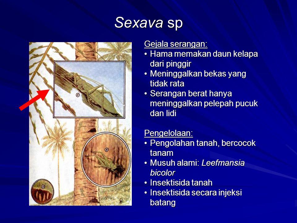 Sexava sp Gejala serangan: Hama memakan daun kelapa dari pinggir