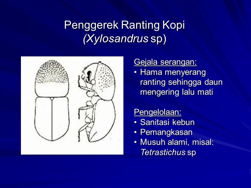 Penggerek Ranting Kopi (Xylosandrus sp)
