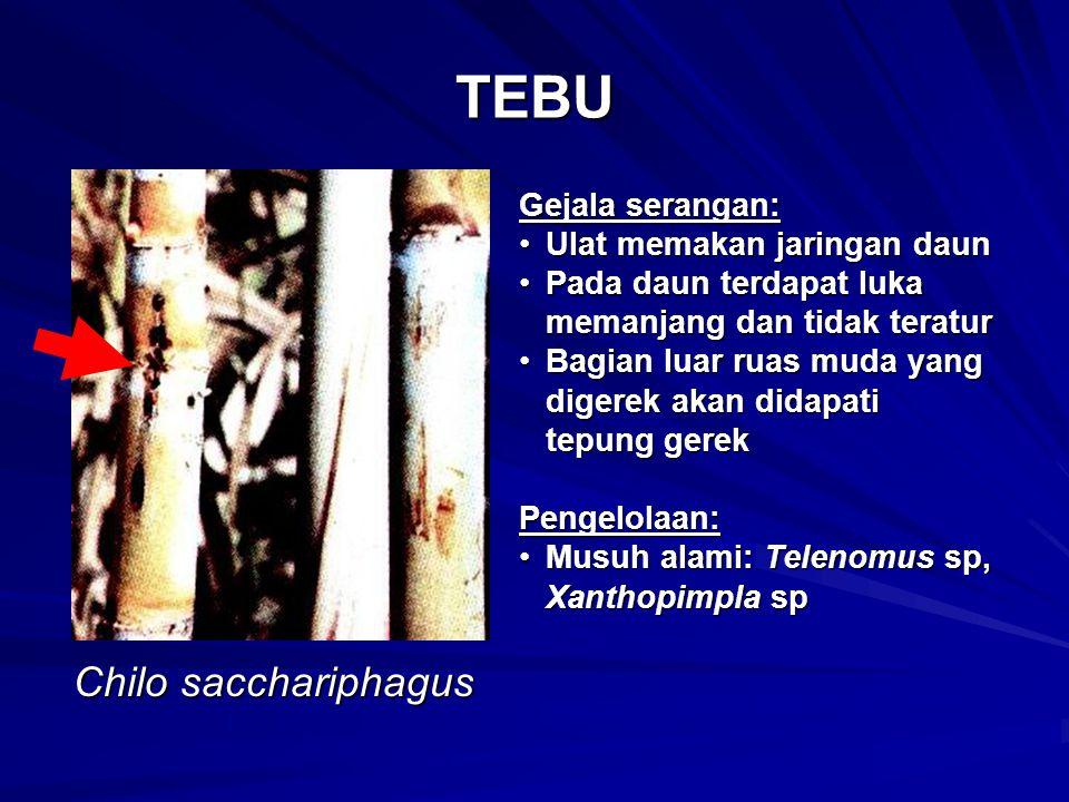 TEBU Chilo sacchariphagus Gejala serangan: Ulat memakan jaringan daun