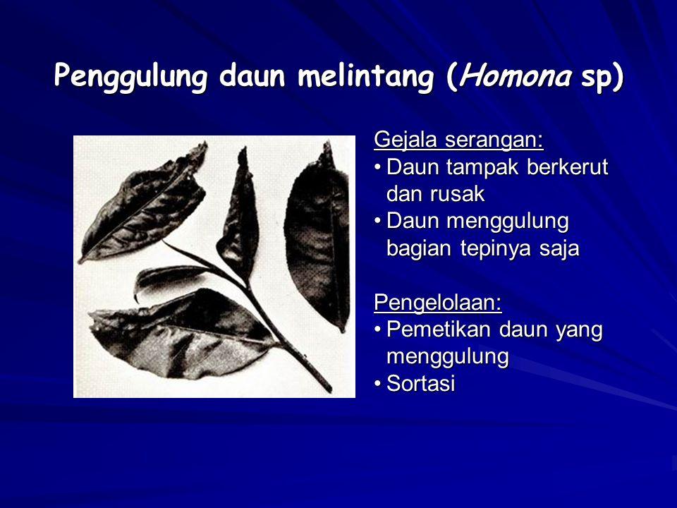 Penggulung daun melintang (Homona sp)