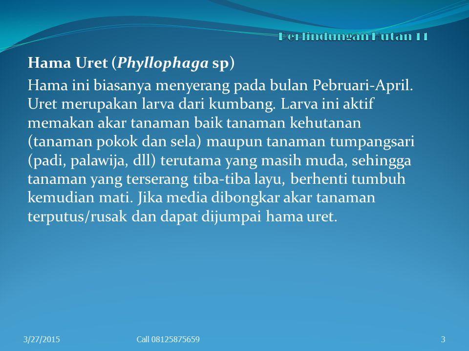 Hama Uret (Phyllophaga sp)