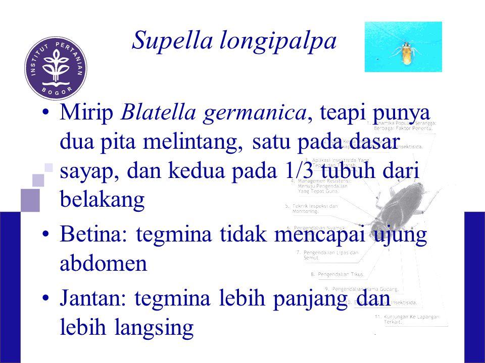 Supella longipalpa Mirip Blatella germanica, teapi punya dua pita melintang, satu pada dasar sayap, dan kedua pada 1/3 tubuh dari belakang.