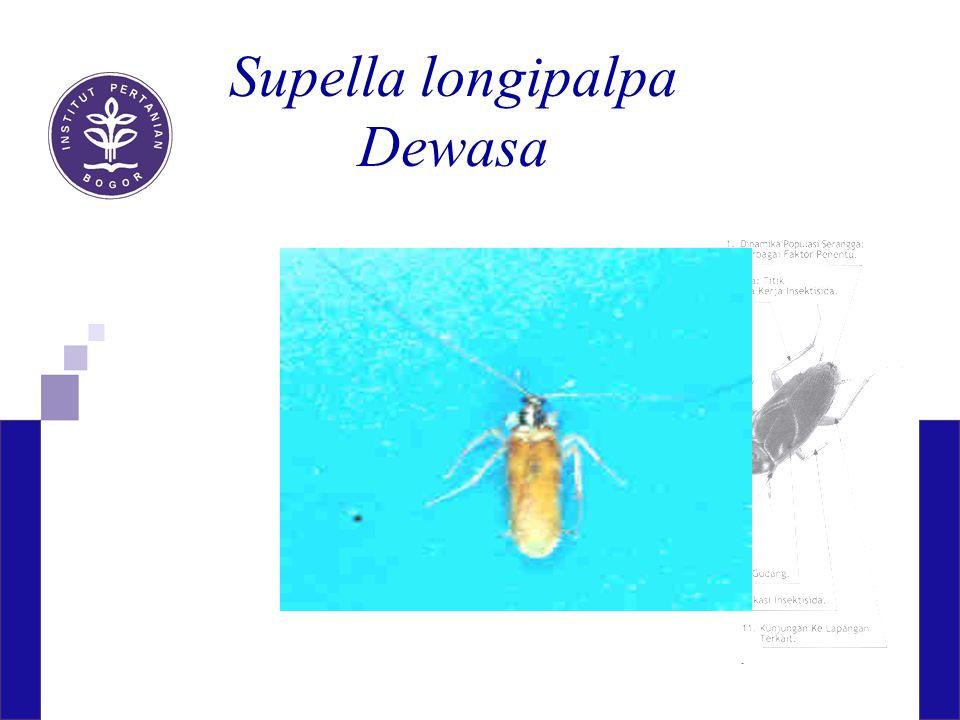 Supella longipalpa Dewasa
