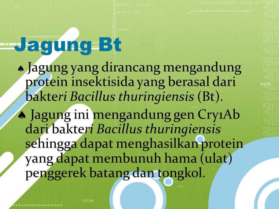 Jagung Bt  Jagung yang dirancang mengandung protein insektisida yang berasal dari bakteri Bacillus thuringiensis (Bt).