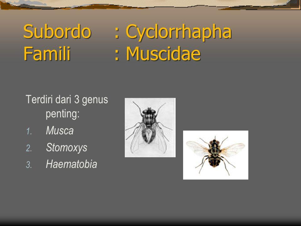 Subordo : Cyclorrhapha Famili : Muscidae