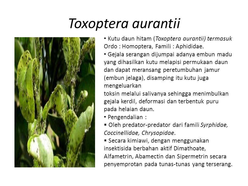 Toxoptera aurantii Kutu daun hitam (Toxoptera aurantii) termasuk Ordo : Homoptera, Famili : Aphididae.