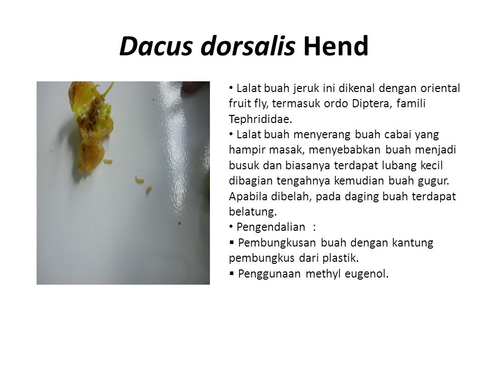 Dacus dorsalis Hend Lalat buah jeruk ini dikenal dengan oriental fruit fly, termasuk ordo Diptera, famili Tephrididae.