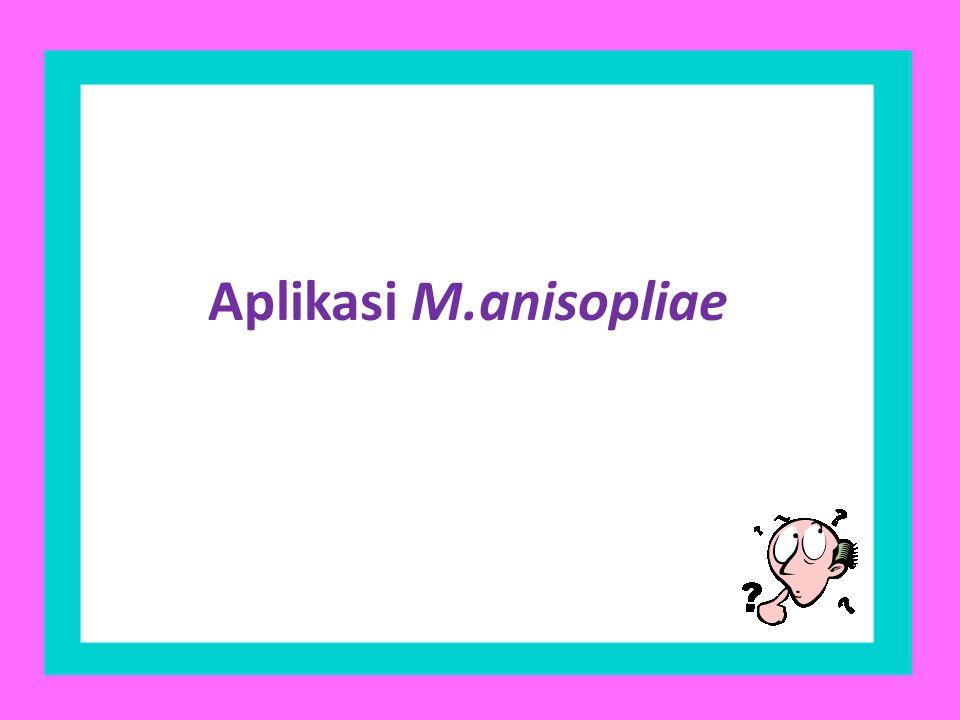 Aplikasi M.anisopliae