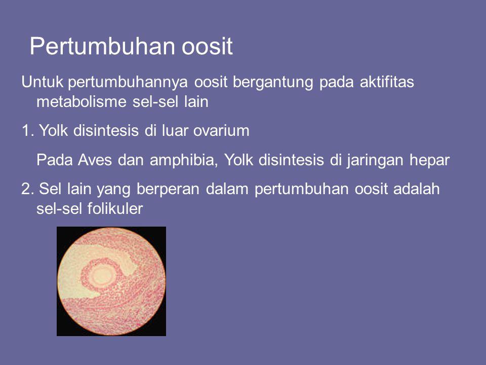 Pertumbuhan oosit Untuk pertumbuhannya oosit bergantung pada aktifitas metabolisme sel-sel lain. 1. Yolk disintesis di luar ovarium.