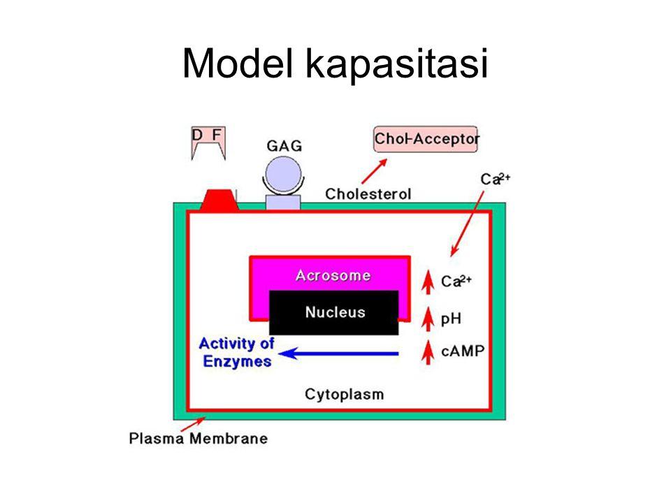 Model kapasitasi