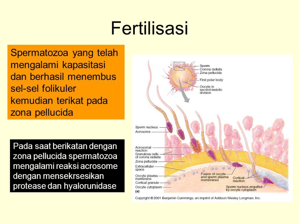 Fertilisasi Spermatozoa yang telah mengalami kapasitasi dan berhasil menembus sel-sel folikuler kemudian terikat pada zona pellucida.