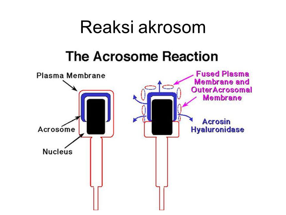 Reaksi akrosom