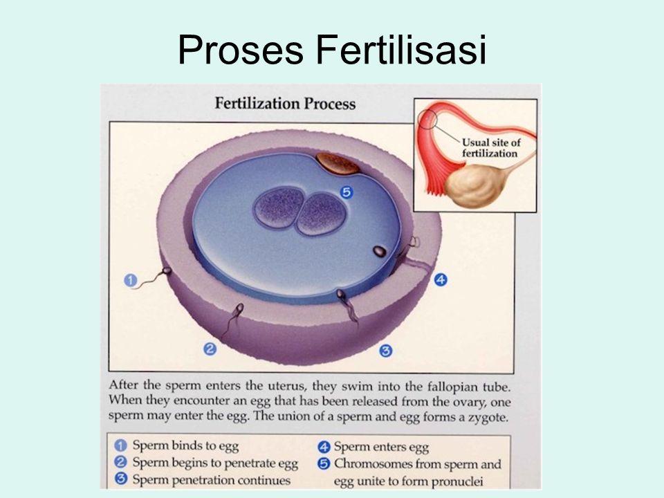 Proses Fertilisasi