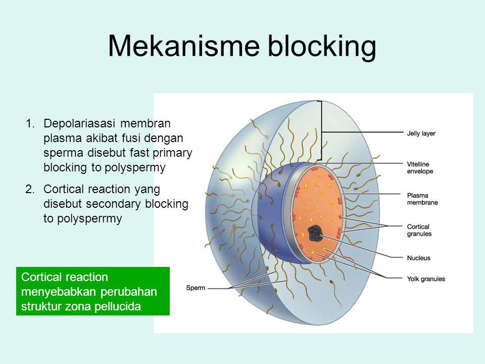 Mekanisme blocking Depolariasasi membran plasma akibat fusi dengan sperma disebut fast primary blocking to polyspermy.