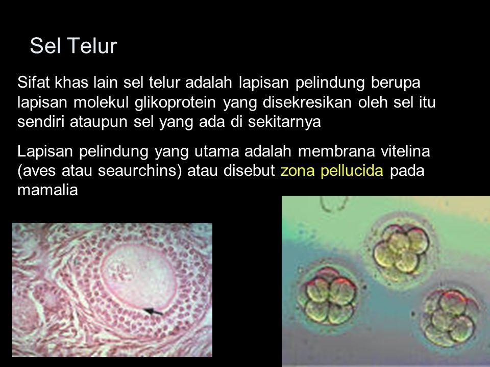 Sel Telur