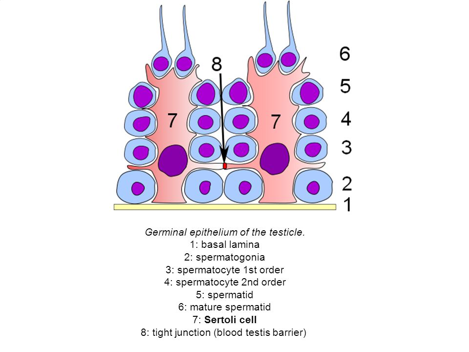 Germinal epithelium of the testicle