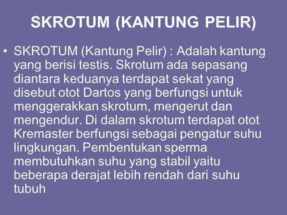 SKROTUM (KANTUNG PELIR)