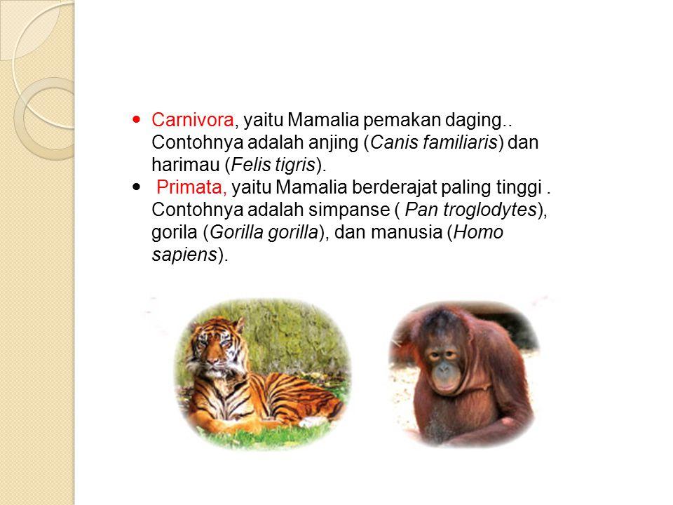 Carnivora, yaitu Mamalia pemakan daging