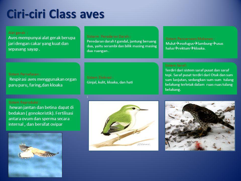 Ciri-ciri Class aves Alat gerak : Aves mempunyai alat gerak berupa jari dengan cakar yang kuat dan sepasang sayap .