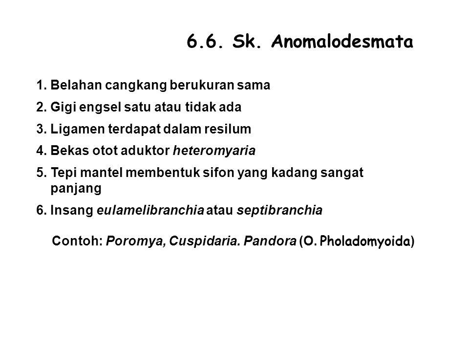 6.6. Sk. Anomalodesmata 1. Belahan cangkang berukuran sama