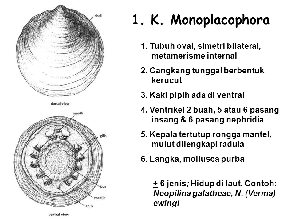 1. K. Monoplacophora 1. Tubuh oval, simetri bilateral, metamerisme internal. 2. Cangkang tunggal berbentuk kerucut.