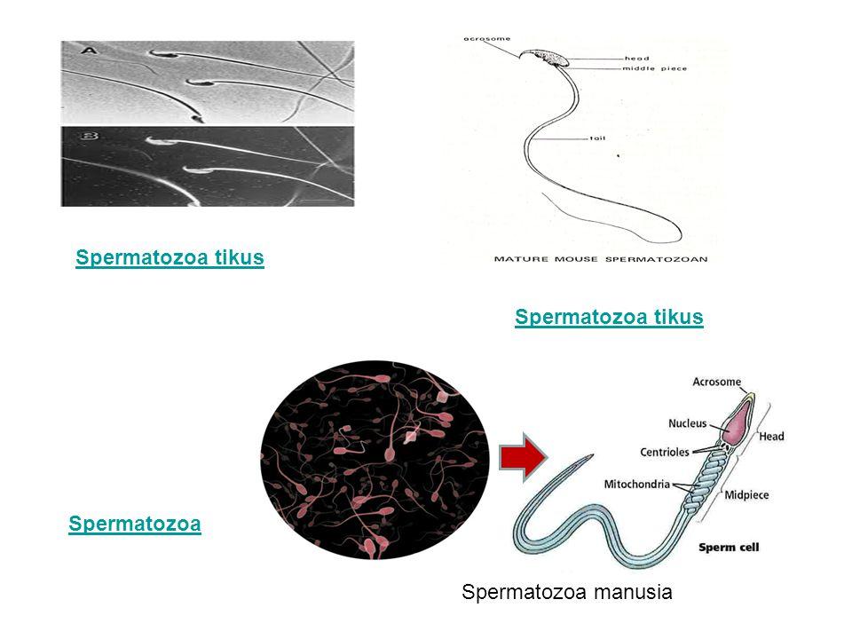 Spermatozoa tikus Spermatozoa tikus Spermatozoa Spermatozoa manusia