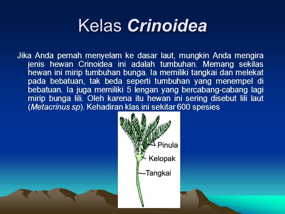 Kelas Crinoidea