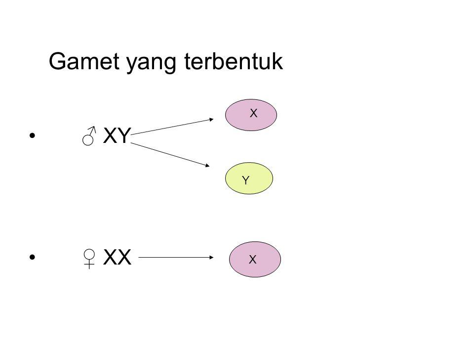 Gamet yang terbentuk ♂ XY ♀ XX X Y
