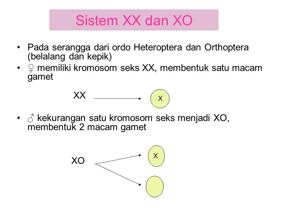 Sistem XX dan XO Pada serangga dari ordo Heteroptera dan Orthoptera (belalang dan kepik) ♀ memiliki kromosom seks XX, membentuk satu macam gamet.