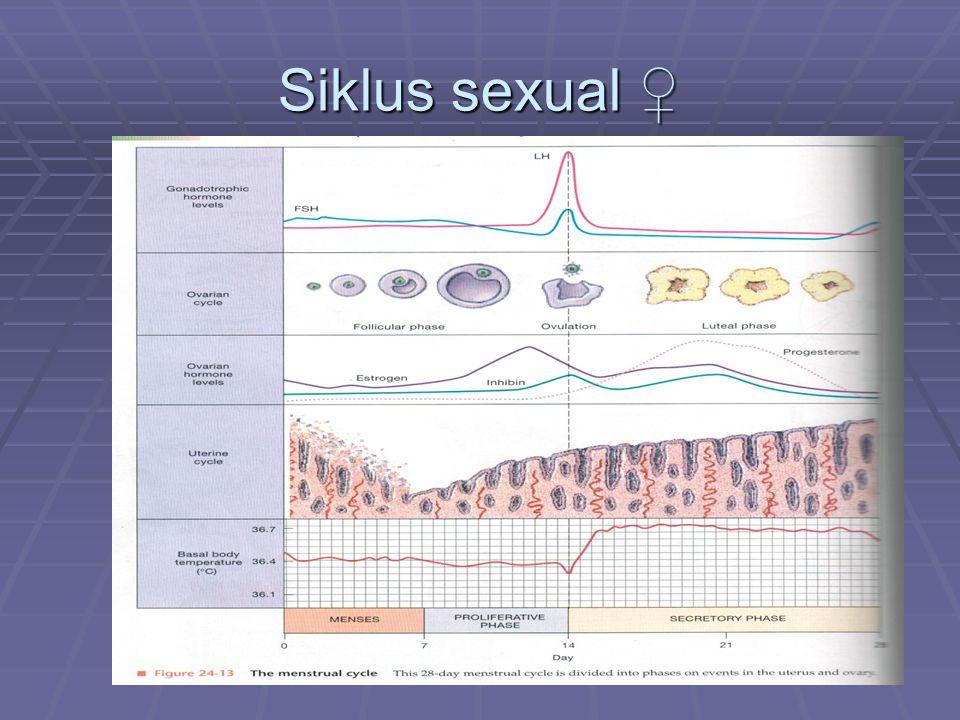 Siklus sexual ♀