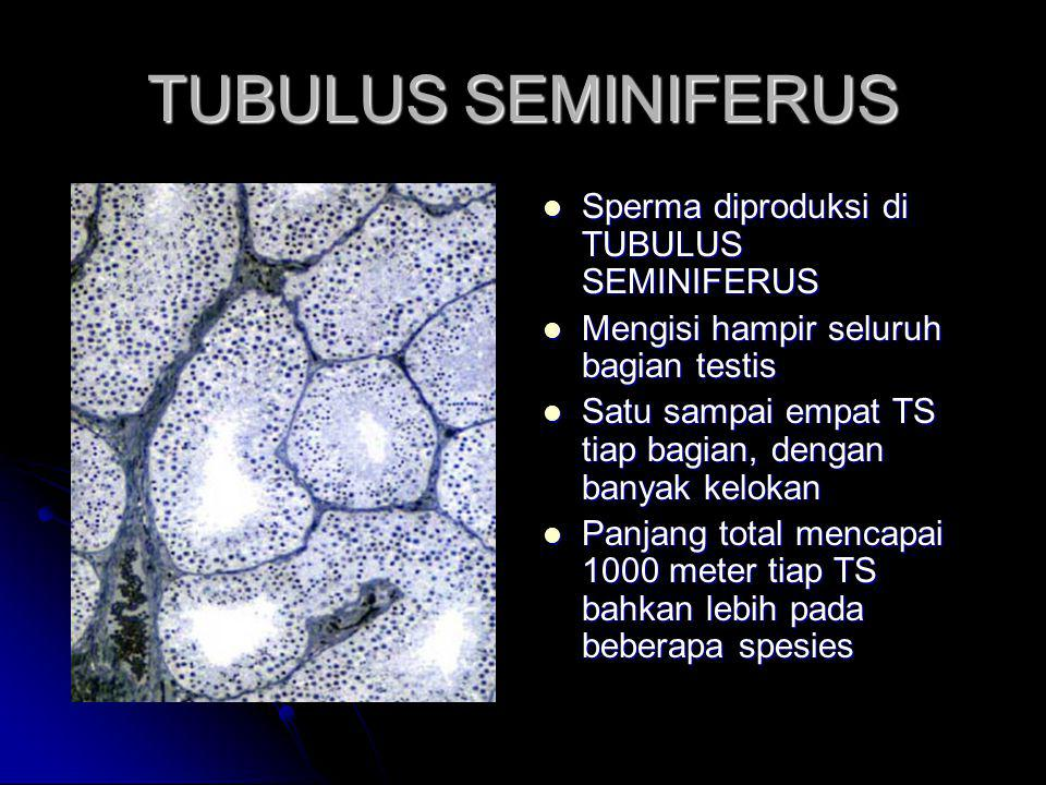 TUBULUS SEMINIFERUS Sperma diproduksi di TUBULUS SEMINIFERUS