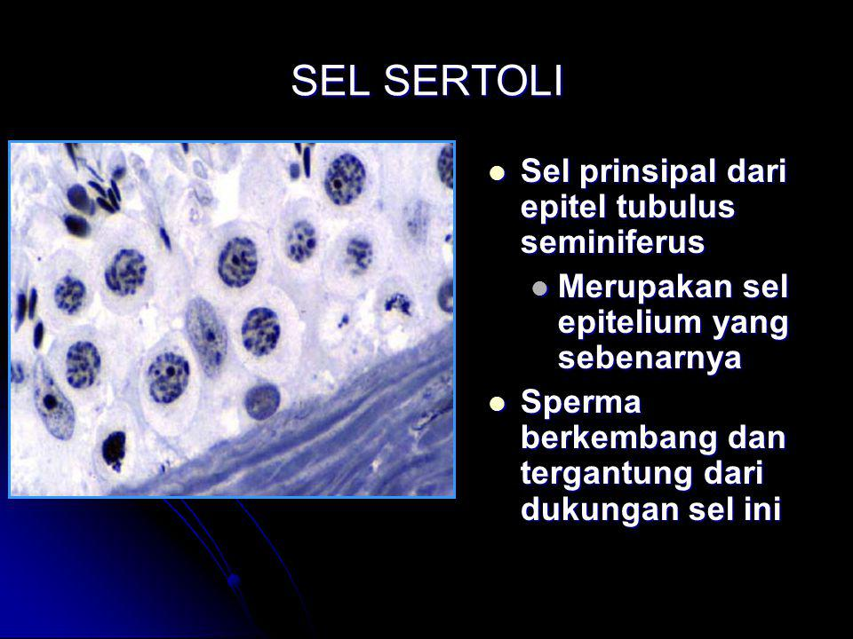SEL SERTOLI Sel prinsipal dari epitel tubulus seminiferus