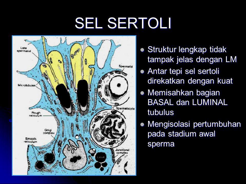 SEL SERTOLI Struktur lengkap tidak tampak jelas dengan LM
