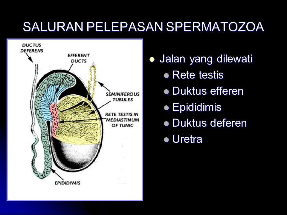 SALURAN PELEPASAN SPERMATOZOA