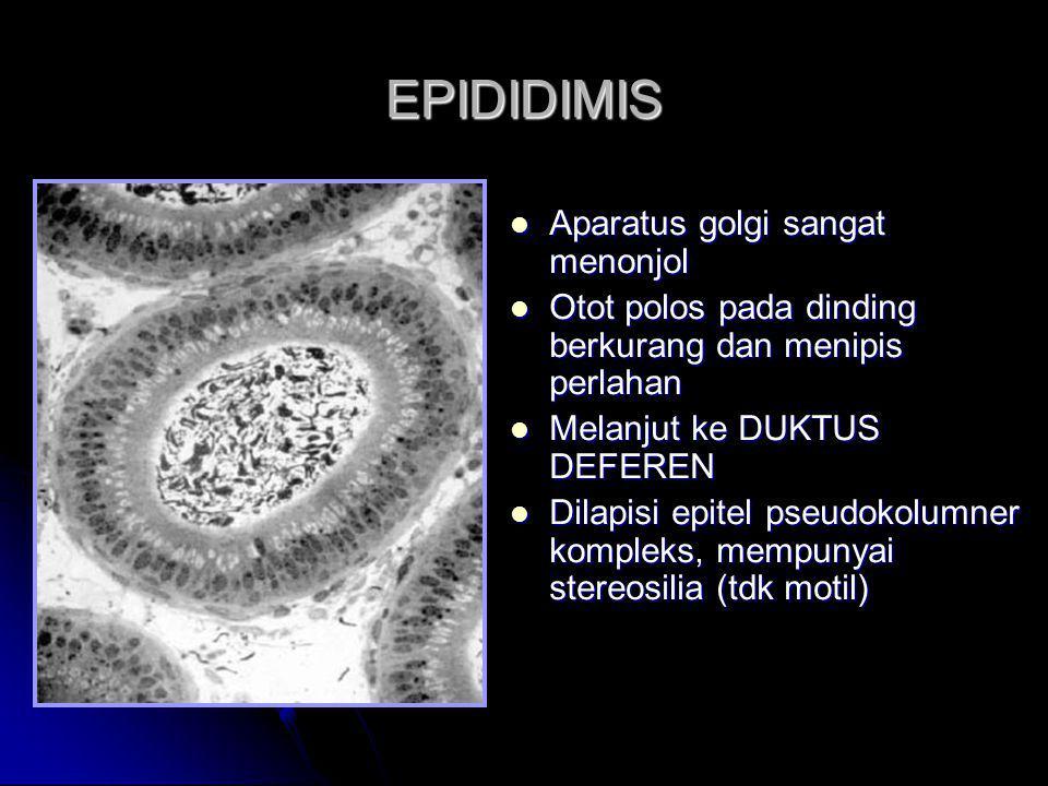 EPIDIDIMIS Aparatus golgi sangat menonjol